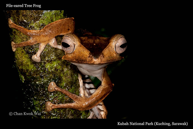 File-eared Tree Frog