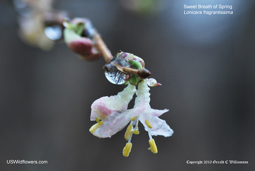 Sweet Breath of Spring; Fragrant Honeysuckle - Lonicera fragrantissima