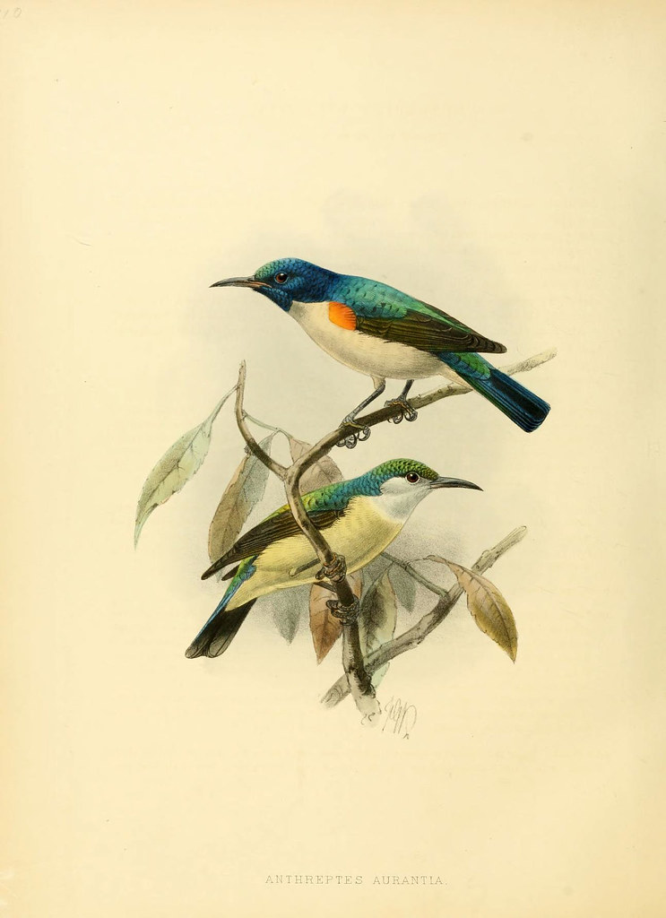 19th c lithographic sketch of 2 birds in a tree branch