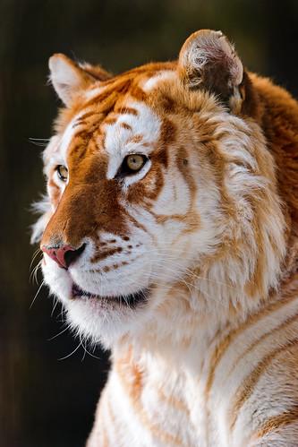 無料写真素材|動物|虎・トラ|ゴールデンタビー