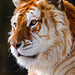 Portrait of the golden tiger by Tambako the Jaguar