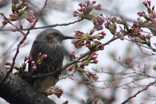 ヒヨドリと桜/Hypsipetes amaurotis & Cherry tree