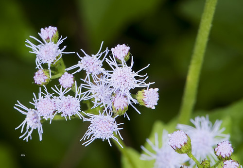 pink plants flickr violet asteridae asterales vanative asterasteraceae asterfamilyasteraceaecompositae asteraleso mistflowerconoclinium