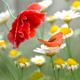The poppy and the butterfly ....