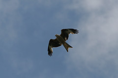 Red Kite, Lac de Bouverans, France, 2006_05_23 (3 of 3).jpg