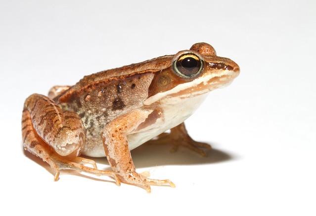 La rana de la madera ( Lithobates sylvaticus )