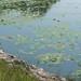 lake eufala waterlillies