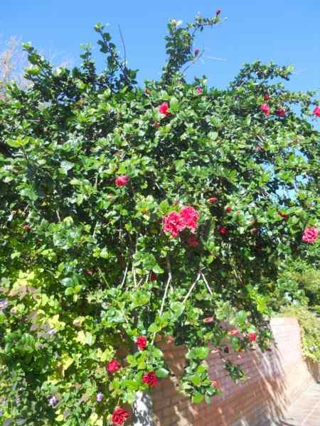 Hibiscus rosa sinensis 'Toledo' v 2