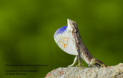 Fan-throated lizard (Sitana ponticeriana)