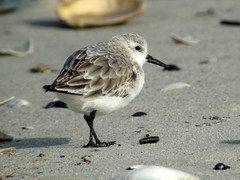 Sanderling, Barnegat Light, NJ