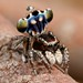 _MG_0152 peacock spider Maratus harrisi by Jurgen Otto