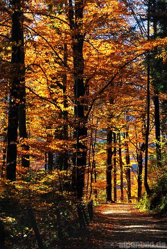 street wood autumn trees tree fall bayern bavaria gold golden strasse herbst wald bäume baum weg 巴伐利亚 chiemgau alpenbildde