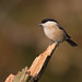 """Willow Tit (Parus montanus) by """"Clare"""""""