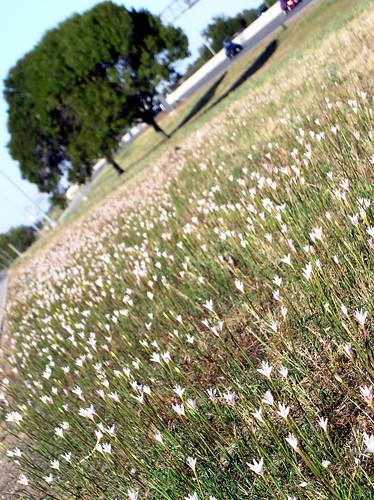 flowers flower cars field car oak highway meadow liveoak freeway bloom flowering blooms oaks tilt oaktree median tilted oaktrees blooming liveoaks rainlily fieldofflowers liveoaktree liveoaktrees rainlilies medianmeadow