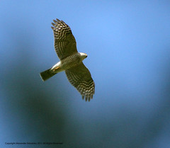 Hawk, Sharp-shinned (Accipiter striatus)