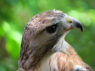 Red tail hawk cranking his head around