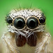 Zebra Jumping Spider by Craig.Taylor