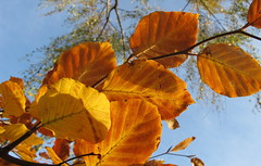 6993 beech leaves