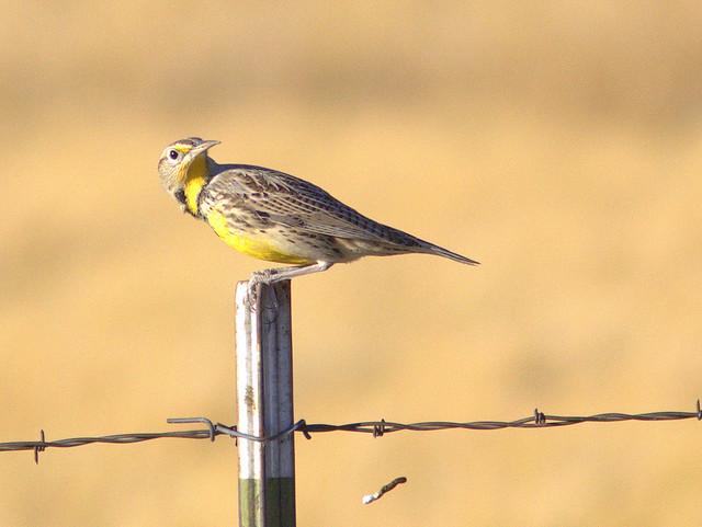 Western Meadowlark 2-20111110