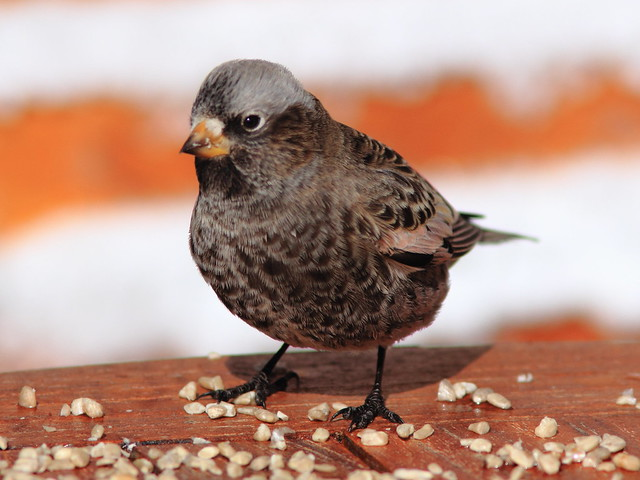 Black Rosy-Finch adult 20111114
