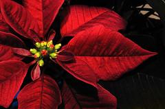 [フリー画像素材] 花・植物, ポインセチア, 赤色・レッド ID:201201011200