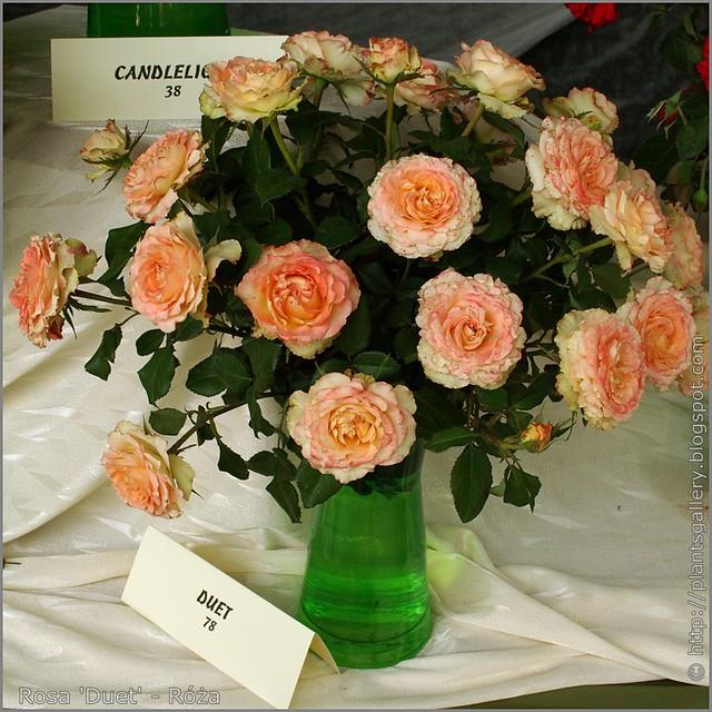Rosa 'Duet' - Róża