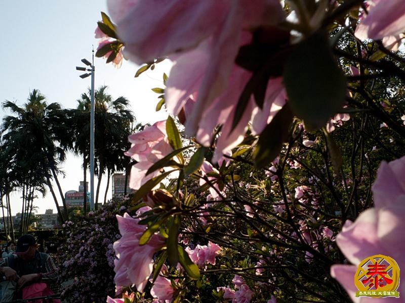 假掰的台大公園杜鵑花-11