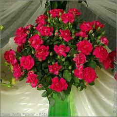 Rosa 'Avila Palace' - Róża