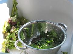 Spring lettuce kept too long