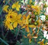 Scouler's St. John's wort - Photo (c) Carolannie--slow return, some rights reserved (CC BY-NC-ND)