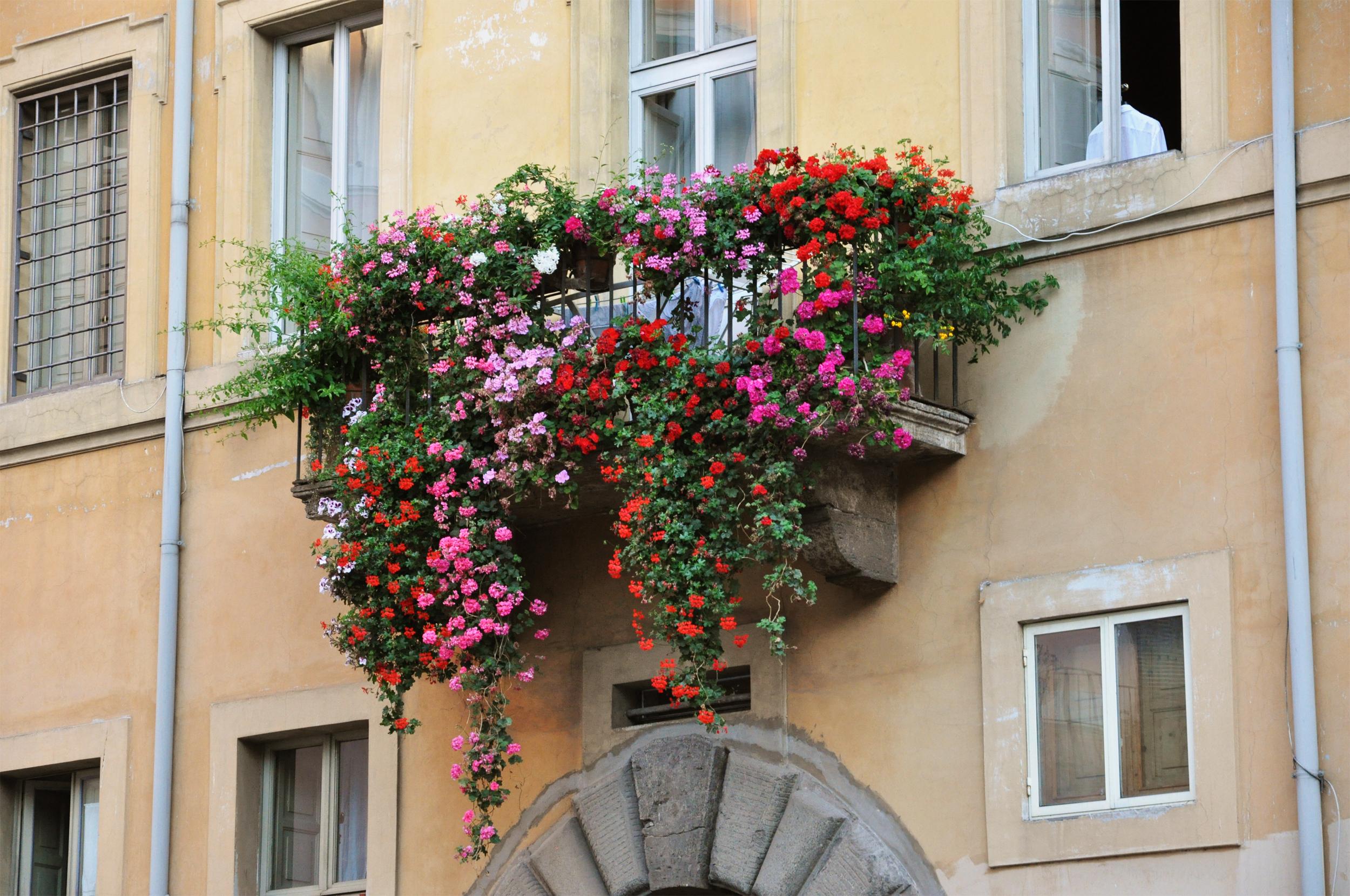 Плетущиеся цветы для балкона. - остекление лоджий - каталог .