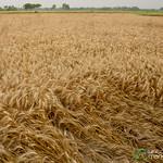 Wheat Fields Outside Hatiandha, Bangladesh