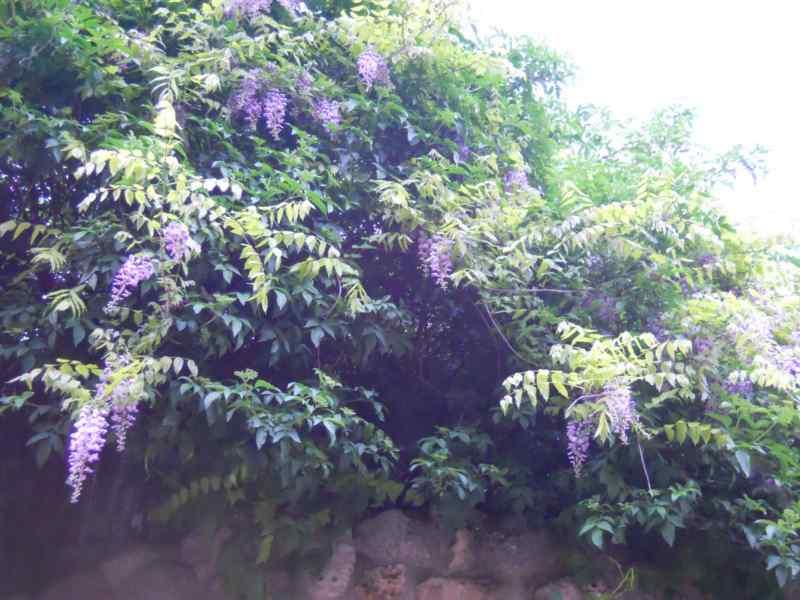 Wisteria sinensis 2