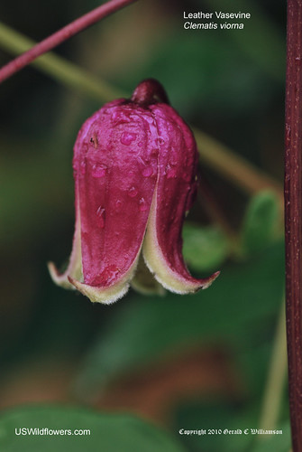 Leather Vasevine, Leather Flower - Clematis viorna