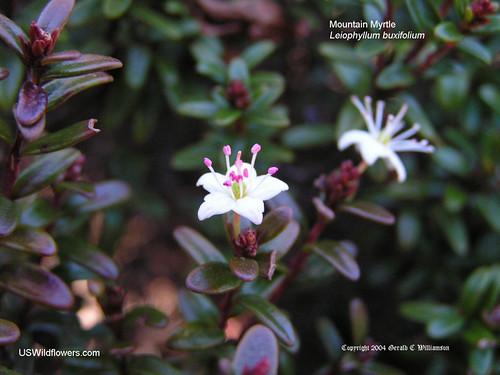 Mountain Myrtle - Leiophyllum buxifolium