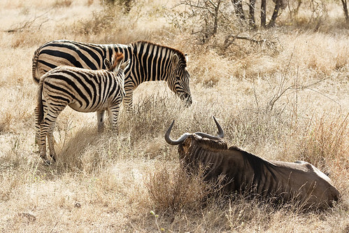 Zebras vs Wildebeest