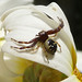 Small photo of Crab Spider (Synema globosum), male