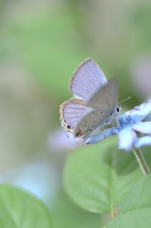 "butterfly, ""chilades pandava"" #3 ~ blue wings"