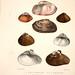 Monographie des genres Galatea et Fischeria