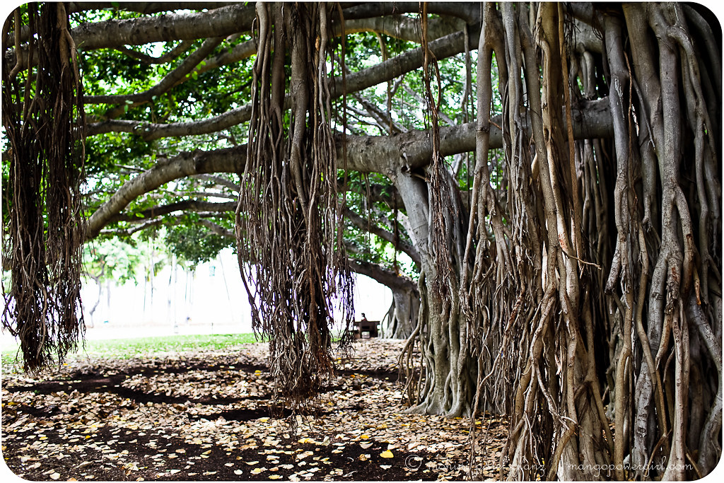 hanging roots of waikiki banyan trees