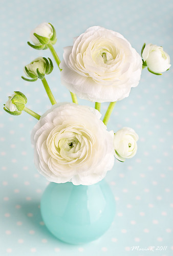 White ranunculus in a blue vase
