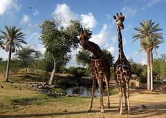 arecales, zoo, giraffe, fauna, giraffidae, safari, wildlife,