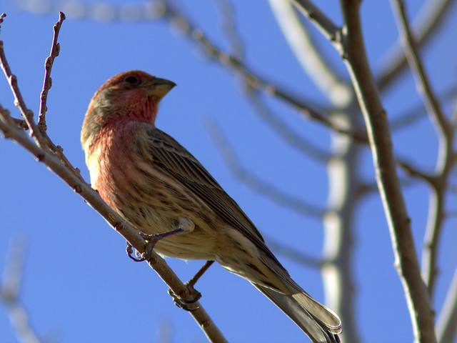 House Finch male 2-20111112