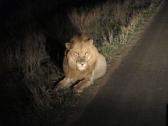 Lion on Night Drive