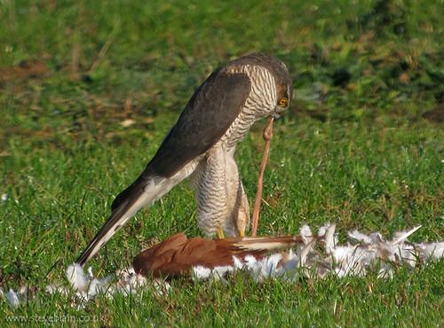 Sparrowhawk by steve_blain