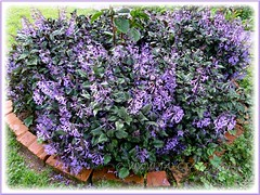 Garden border filled with Plectranthus 'Mona Lavender' at Fathers Guest House, Cameron Highlands - Aug 6 2011