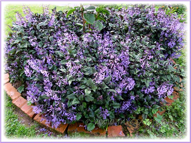 garden border filled with plectranthus 39 mona lavender. Black Bedroom Furniture Sets. Home Design Ideas