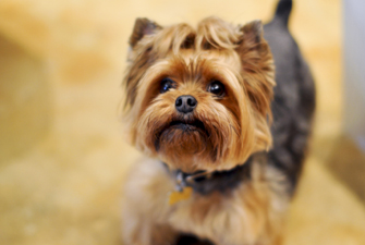 Small Yorkie dog