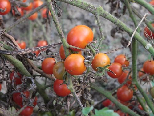 Cherry-Tomato-Plants_Autumn__55843