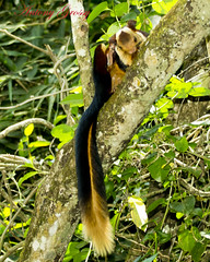 Giant Indian Squirel